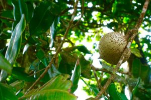 Abricot-pays Fruits des Antilles