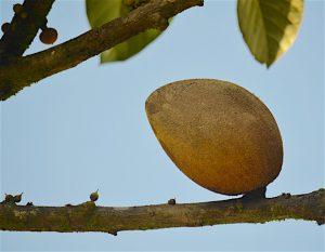 Sapote Mamey ou amande amere Fruits des Antilles