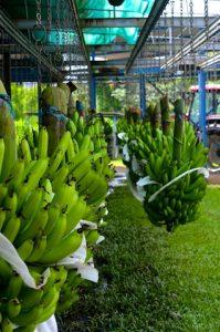 Bananes Gue