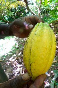 Jaune la maturite du cacao