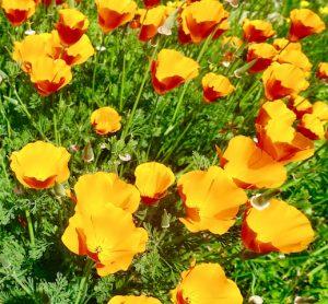 Fleur infusion