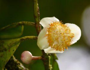 Fleur abricot pays