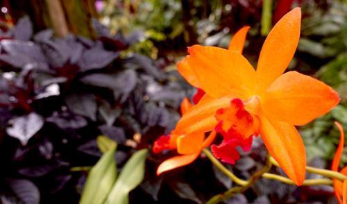 Orchidee21