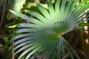 Palmier balai