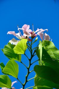 Arbre orchidée