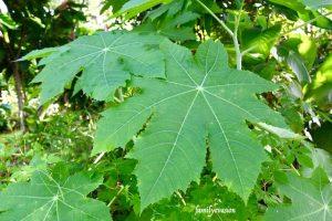 Arbuste carapatier