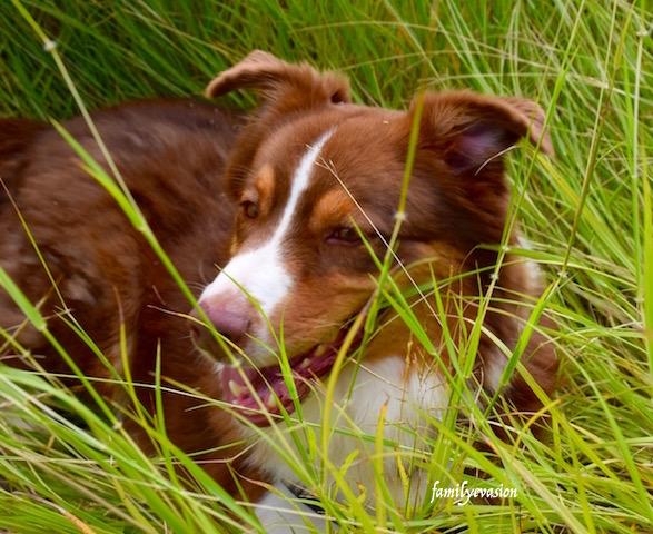 Education canine - berger australien - Molly