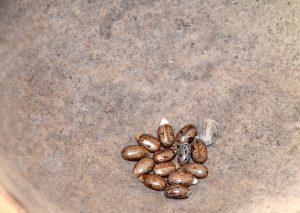 Grains de carapate - Huile de carapate