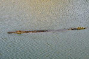 Crocodile - safari photo