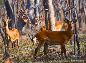 Kob de buffon - safari photo