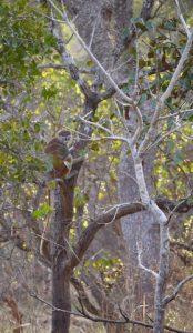 Singe - safari photo