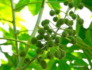 Fruit du carapatier