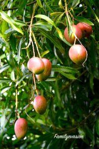 Mangues - sucres naturels - familyevasion