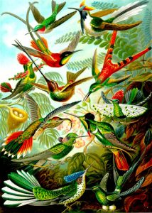 Peinture de Ernst Haeckel parue dans Kunstformen der Natur de 1904