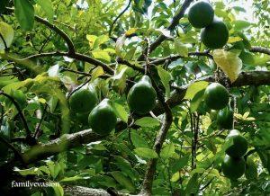 Avocat - jardin creole