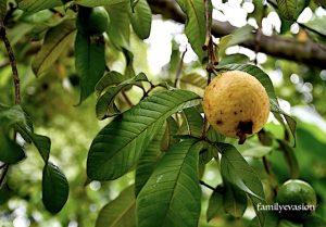 Goyavier - jardin creole - familyevasion