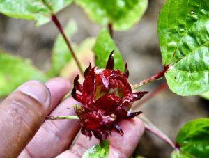 Fleur de groseille