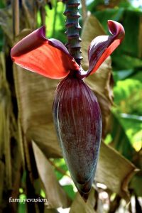 Bananier - chant de la nature