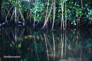 Mangrove - anse a l'ane