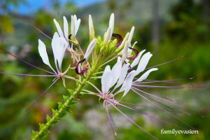 Cleome - balade florale