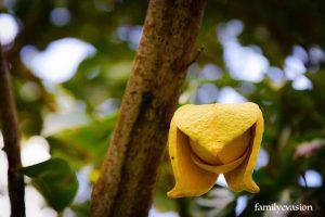 Corossol fleur - cachent - balade florale