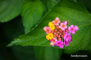 Lantana - fleur tropicale