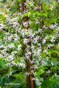 Lilas de Perse - balade florale - fleur tropicale