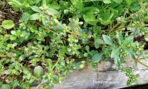 Plantes medcinales