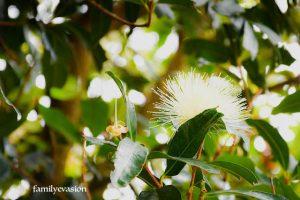 Pomme Rose - fleur tropicale