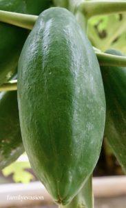 Papaye ovoide