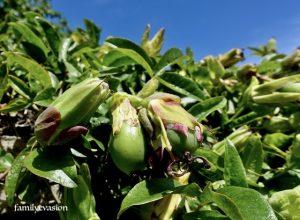 Fruit de la passiflore bleue