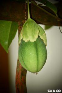 Pomme liane - passiflore