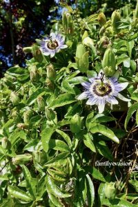 fleur et fruit passiflore bleue
