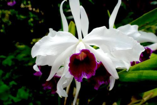 Orchidee14