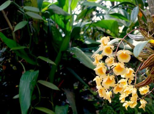 Orchidee19
